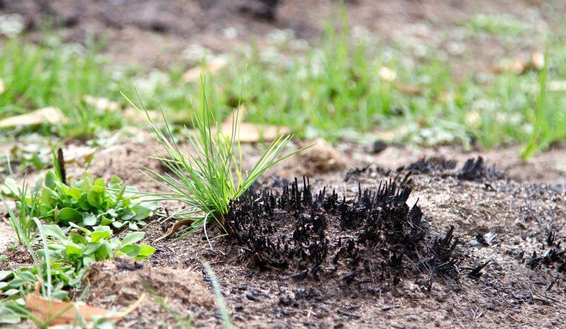 Grass shoots emerge through burnt land in Namadgi National Park following the past summer's bushfires. Photo: Michael Weaver.